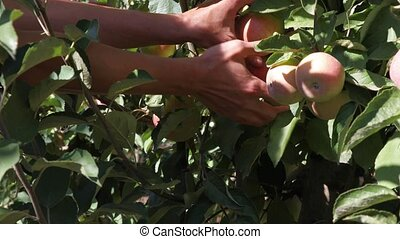 Female seasonal worker picks ripe juicy apples from tree in farm orchard on a sunny day. Agricultural theme