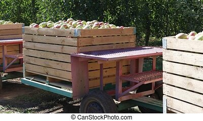 Apple harvest - Large wooden crates, boxes with freshly ...