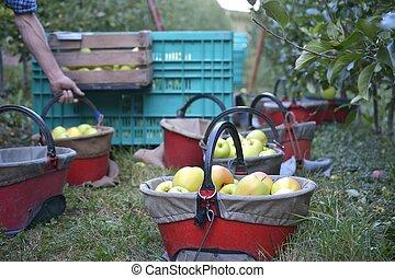 apple in a bucket