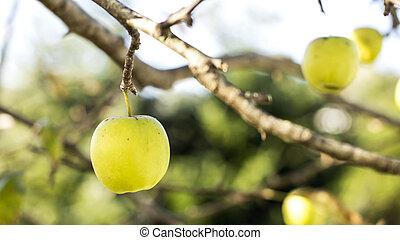 Apple in tree