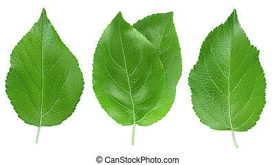 Apple leaf isolated on white background with clipping path.