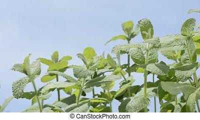 Apple mint under sky - Bright green apple mint plants under...