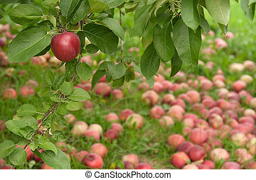 Apple on a branch in autumn orchard - Red apple on a branch...