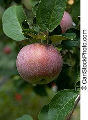 Apple on a tree branch
