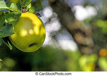 apple on a tree
