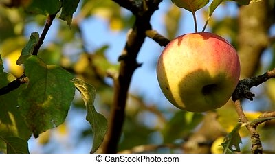 Apple on the tree and ble sky