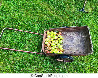 apple orchard, apples are collected in a heap for transportation around the summer cottage. fruit trees, bright and juicy apples, vitamin snacks, diets, proper nutrition