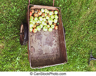 apple orchard, apples are collected in a heap for transportation around the summer cottage. fruit trees, the gardener gathered fruits in a bunch. large trolley, metal, on wheels