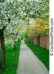 Blooming apple trees along a path in an orchard