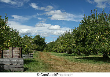 Apple Orchard - Green apples on a beautiful, sunny day.