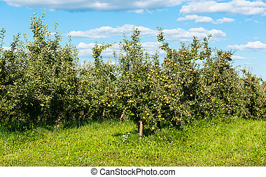 apple orchard on a sunny day