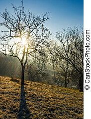 apple orchard on hillside at autumn sunrise. naked trees on...