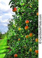 Apple orchard - Ripe apples on apple trees branches in the...