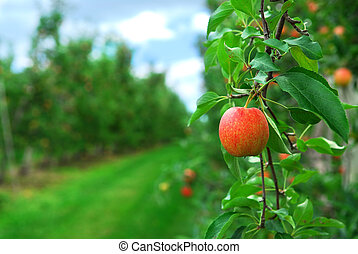 Apple orchard - Red ripe apples on apple trees branches in...
