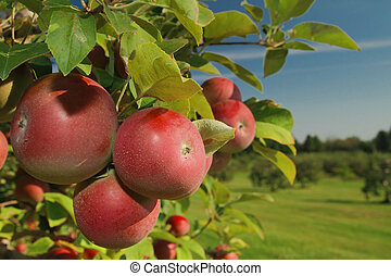 Apple orchard - Cluster of ripe apples on a tree branch