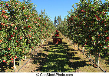 Apple Orchard - Fruit ripe for the picking in an apple...