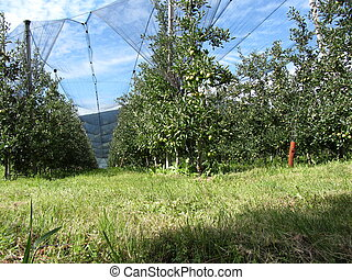Apple orchard with protection nets