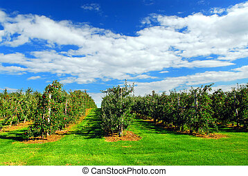 Apple orchard with red ripe apples on the trees under blue ...