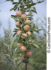 Apple orchard with ripe apples on the trees ready for harvesting