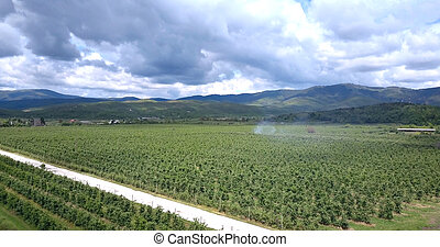 apple orchards ,aerial view, prespa ,macedonia - drone view ...