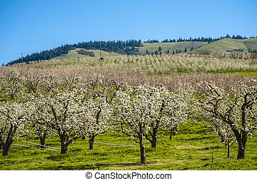 Apple orchards in spring