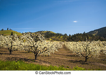 Apple orchards in spring - Apple orchards blossoming white...