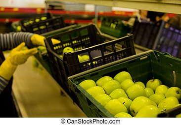 Golden Delicious Apples in crates on a conveyor belt