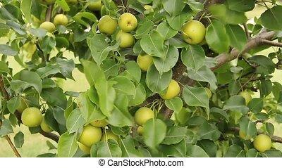 apple pear tree