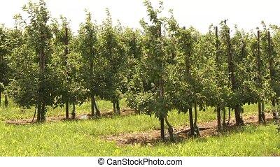 Apple Plantation