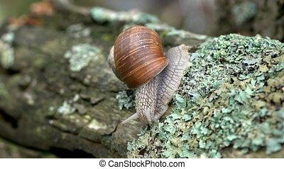 apple snail - Helix pomatia