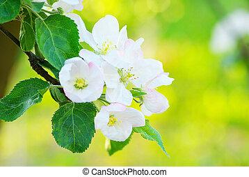 apple-tree, פרחים