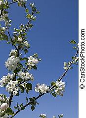 apple-tree, ブランチ