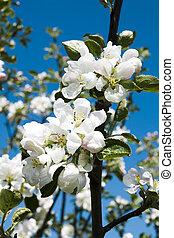 apple-tree, 花