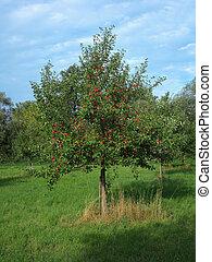 Apple tree 6