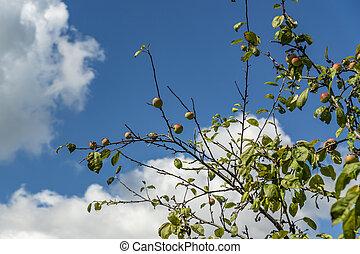 apple tree against blue sky