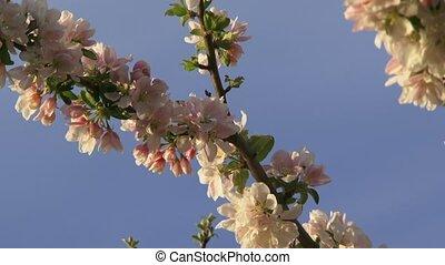 Apple-Tree Against The Sky