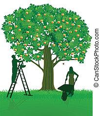 Apple tree and harvest