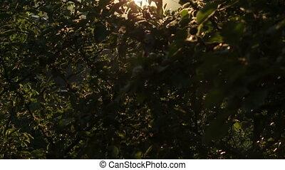 Apple Tree at Sunset HD