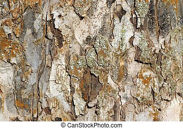 Apple Tree Bark Texture