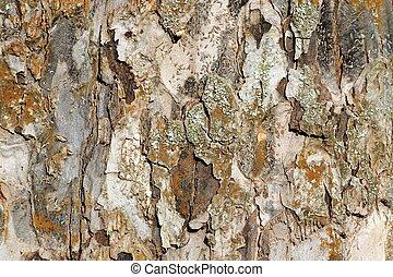 Apple Tree Bark Texture