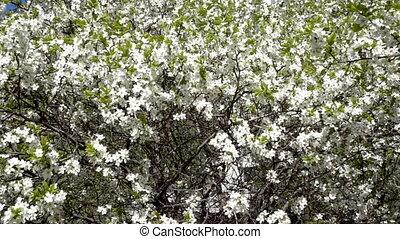apple tree bloom spring