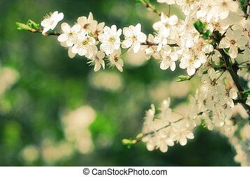 Apple tree blooming in early spring season