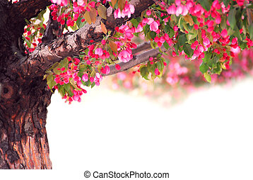 Apple tree - Blooming pink apple tree isolated on white...