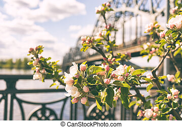 Apple tree blooms on the embankment in Riga