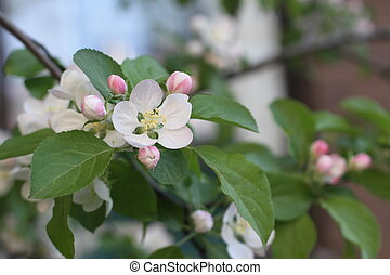 Apple tree blossom with green leaves. Beautiful spring flowers in the garden.