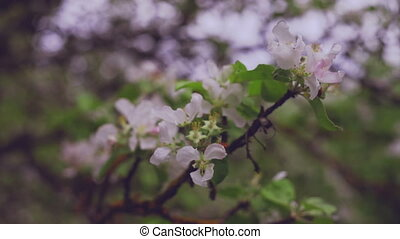 Apple tree blossoming in orchard
