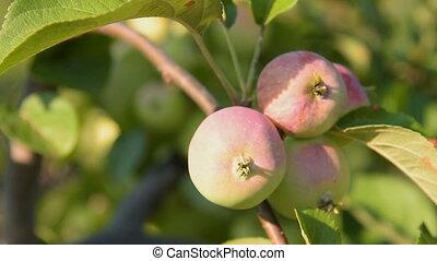 Apple tree branch, close-up