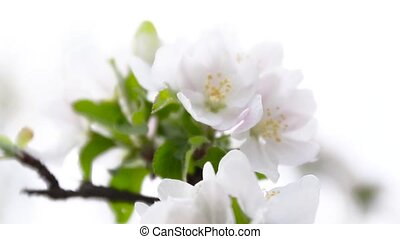 White apple tree branch flowers in spring. Shallow depth of field