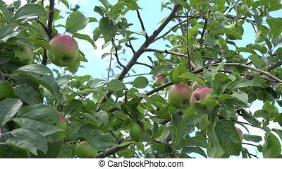 apple tree branch fruit swing on wind in blue sky background. 4K