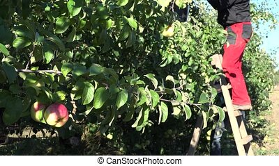 apple tree branch moving in wind and worker reap apples. 4K...
